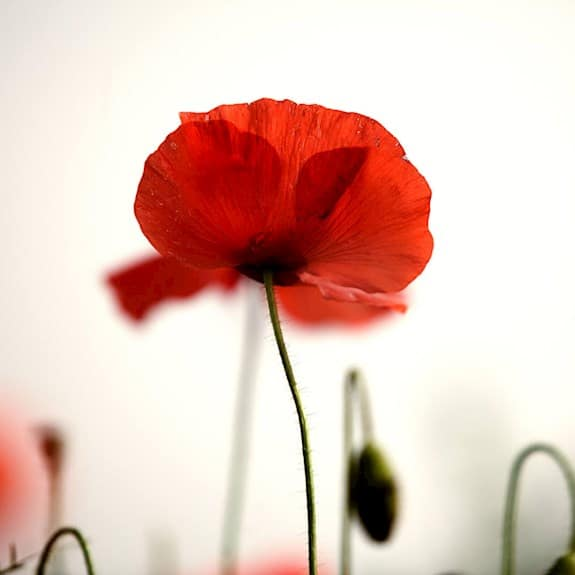 A red poppy on a white background